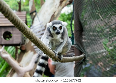 Portrait of Ring-tailed Lemur standing on rope in the open zoo.