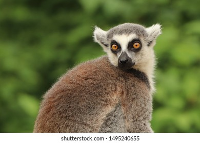 Portrait of ring-tailer lemur (Lemur catta) with green background. Monkey with scared look. Habitat Madagascar, Africa.