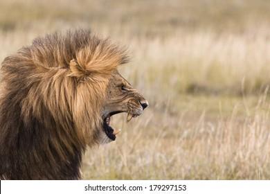 Portrait of a roaring male lion
