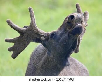 Portrait of a roaring Moose bull (Alces alces)