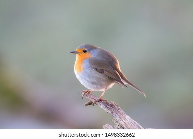 Portrait of a robin redbreast sitting on a branch in the early morning sun