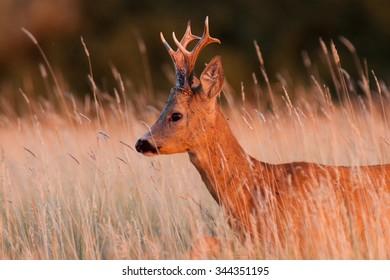 Portrait of a roe deer buck.