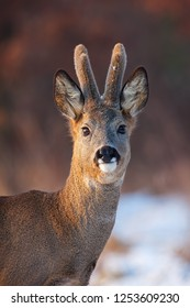 Portrait of roe deer, capreolus capreolus, in winter. Wild roebuck at sunset with snow in background. Freezing weather in wilderness.