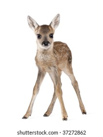 Portrait of Roe Deer Fawn, Capreolus capreolus, 15 days old, standing against white background, studio shot