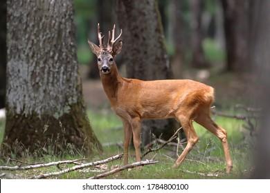 Portrait of roe deer in a field