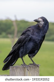 portrait of a rook corvus frugilegus perched on a fence post