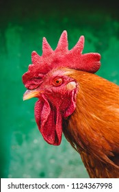 Portrait of a rooster with a red comb on a green background