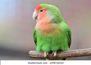 Portrait of a rosy-billed lovebird (agapornis roseicollis) perching on a branch