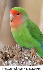 Portrait of a rosy-faced lovebird (agapornis roseicollis)