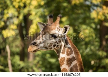 Portrait Rothschilds Giraffe Hidden Green Trees Stock Photo Edit