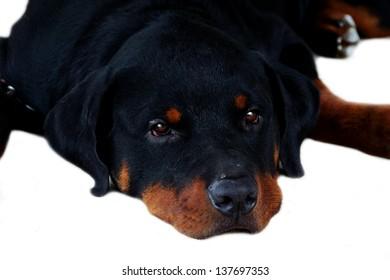 Portrait of Rottweiler