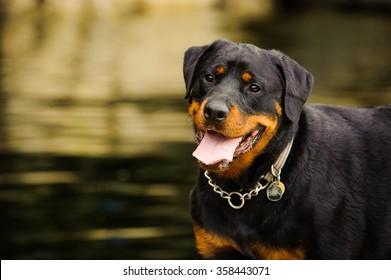 Portrait of Rottweiler against water