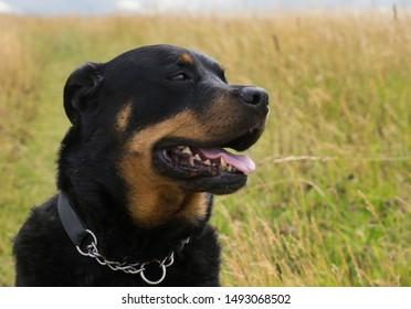 Portrait of a Rottweiler  dog