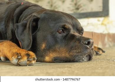 Portrait of a Rottweiler dog. Sad dog.