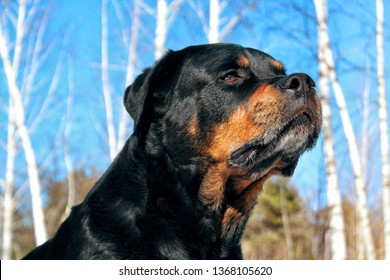 Portrait Rottweiler in the forest against the sky