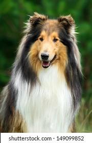Portrait of rough collie