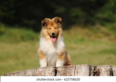 Portrait of rough collie dog in outdoors.