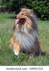 Portrait of rough collie on a natural background