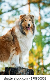 Portrait of rough collie standing on the stub