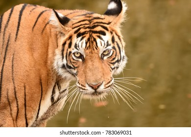 Portrait of Royal Bengal Tiger against green background looking towards camera in Ranthambhore National Park