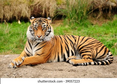 Portrait of a Royal Bengal tiger alert and staring at the camera