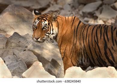 Portrait of Royal Bengal Tiger looking towards camera in Ranthambhore National Park