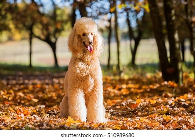 portrait of a royal poodle in an autumn forest