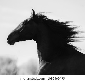 Portrait of a running horse in monochrome tones