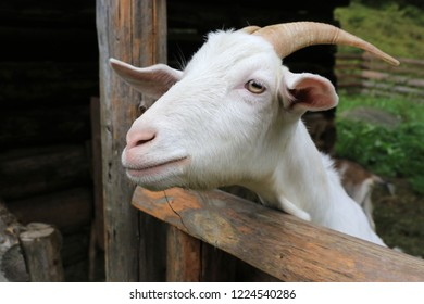 Portrait of rural goat on farm