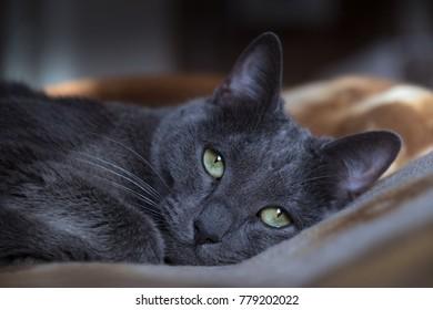 Portrait of a Russian Blue cat breed