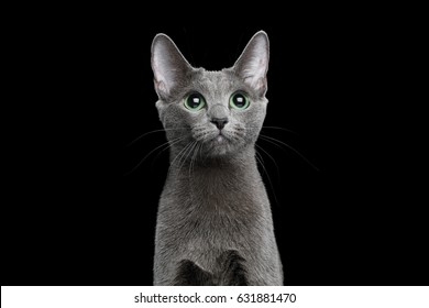 Portrait of Russian blue Cat on Isolated Black Background