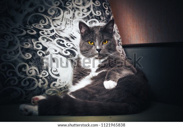 Portrait of Russian blue Cat on Isolated Black Background. the cat looks up, squinting a little, sniffing. Cat relax on the sofa