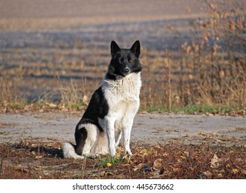 Portrait of Russian-European Laika on natural  background