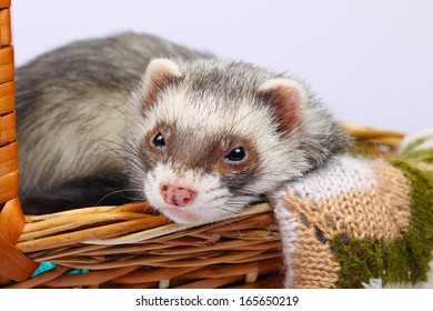Portrait of sable ferret lying in the basket