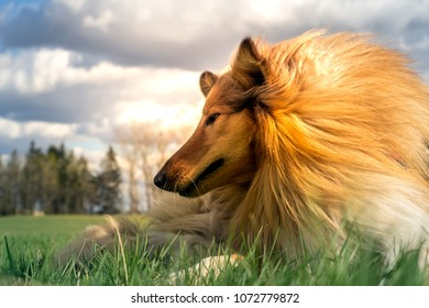 Portrait of sable and white Long-haired (Rough Collie) lies on the grass in the bright sun rays behind. Cute pet is lies on grass