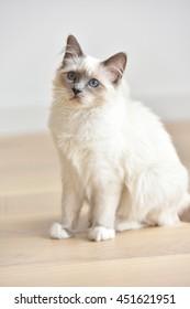 Portrait of Sacred of Birmanie kitten, cat