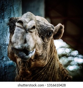 Portrait of a sad camel.