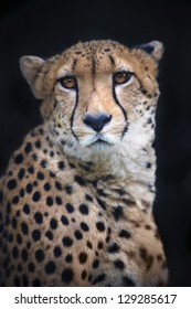 Portrait of a sad cheetah on black background.