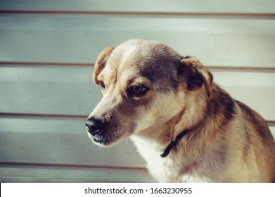Portrait of a sad dog, looking to the side, tinted photos