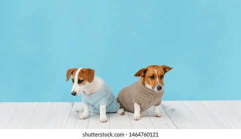 Portrait of sad dogs in knitted blouses, studio photo of Jack Russell puppy and his mom. Friendship, love, family concept.