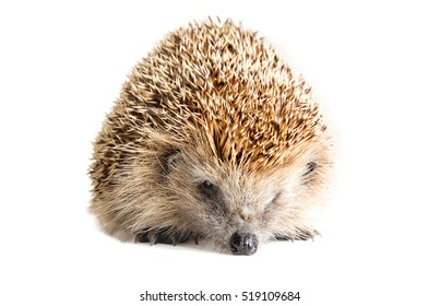 Portrait of a sad hedgehog, isolated on white background