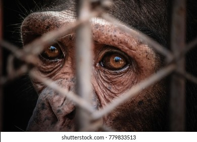portrait of sad imprisoned chimp behind metal bar