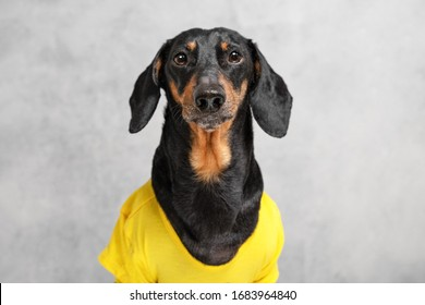 Portrait of a sad obedient black and tan dachshund dog in yellow t-short sitting isolated on gray background, looking at camera in anticipation of a walk, owner or yummy. Excerpt training