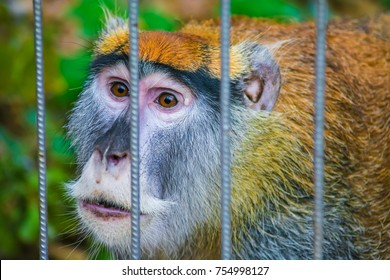 Portrait of a sad Patas monkey held captive in a cage at the zoo. Concept of animal rights, abuse, cruelty and poaching.