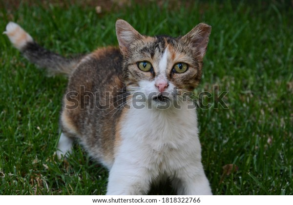 portrait-sad-stray-tricolor-cat-600w-181