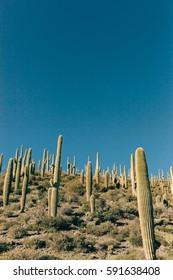 Portrait of Saguaro forest in Arizona, sunny day.