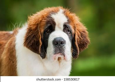 Portrait of saint bernard puppy