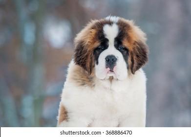 Portrait of saint bernard puppy in winter