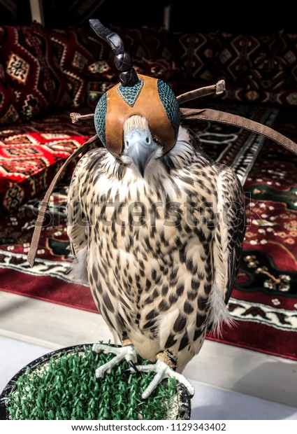 Portrait of a Saker Falcon in Hood Close-up. Hunting Falcon-Saker on a stand in an Arabic tent.