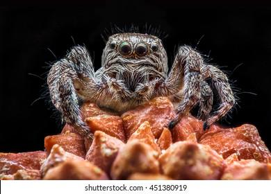 Portrait Salticidae spider on a black background.